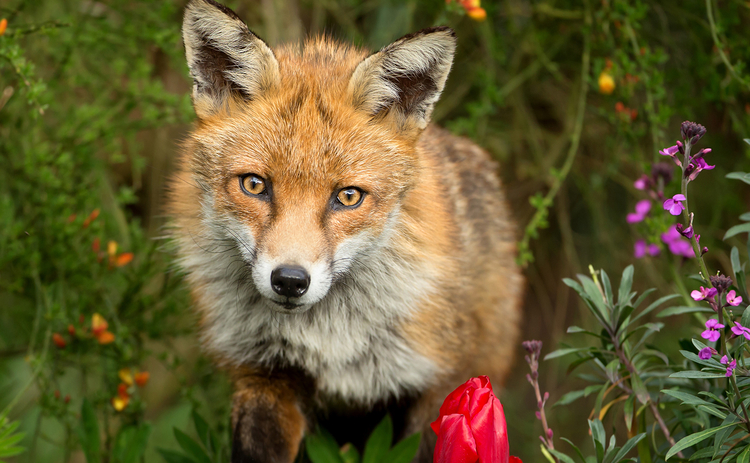 fox in the flowers