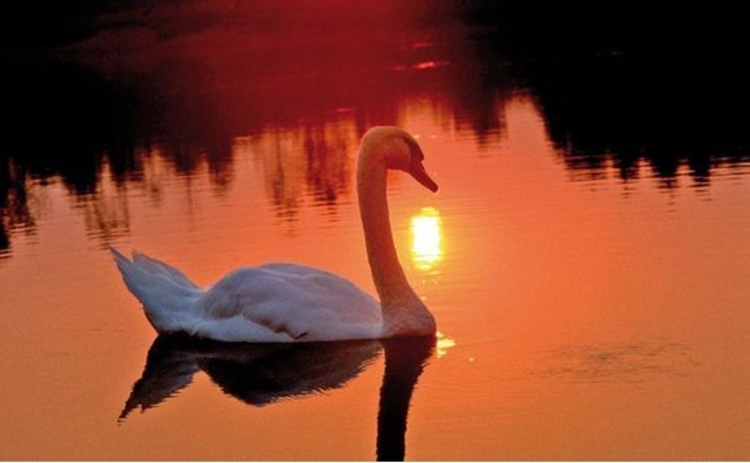 Swan on water at sunset